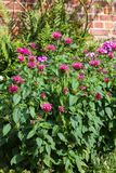 Crimson beebalm or bergamot plant. Royalty Free Stock Photography