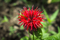Crimson beebalm (Monarda) Stock Photos