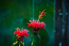Crimson beebalm Monarda growing in the garden. Shallow depth of field Stock Photos