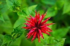 Crimson beebalm Monarda growing in the garden. Shallow depth of field Stock Photography