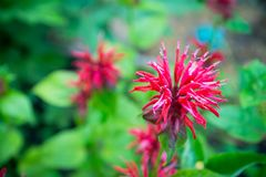 Crimson beebalm Monarda growing in the garden. Shallow depth of field Stock Photo