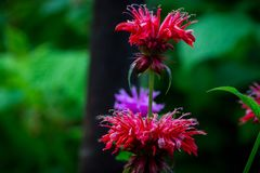 Crimson beebalm Monarda growing in the garden. Shallow depth of field Stock Images