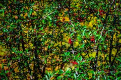 Crimson berries autumn change abstract background. stock images