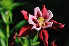 Crimson bi-color columbine flower Royalty Free Stock Image