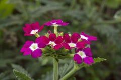 Crimson blomma arkivbild