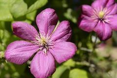 Crimson blomma royaltyfria foton