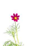 Crimson blomma fotografering för bildbyråer