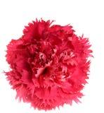 crimson blomma för nejlika royaltyfri bild