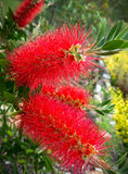 Red Bottlebrush Stock Photography