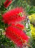 Red Bottlebrush. Beautiful crimson red bottlebrush is an Australian native with lemon-scented leaves stock photography