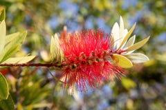 Crimson Bottlebrush Callistemon citrinus stock photography