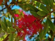 Crimson Bottlebrush-Callistemon citrinus. Callistemon citrinus is a shrub that is native to southeastern Australia. It grows to a height of 3 meters. The plant Royalty Free Stock Photo