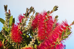 Crimson Bottlebrush flowers close up Royalty Free Stock Photography