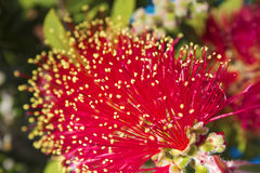 Crimson Bottlebrush flowers close up Stock Image
