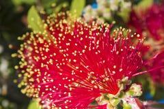 Crimson Bottlebrush flowers close up Stock Image