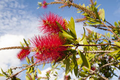 Crimson bottlebrush Stock Images