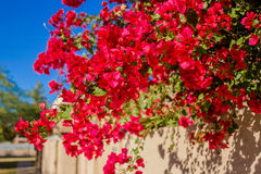 Crimson Tropical Bougainvillea Royalty Free Stock Image