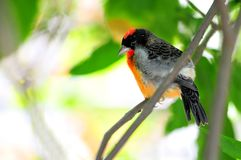 Crimson-breasted Finch bird Stock Images