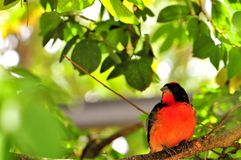 Crimson-breasted finch bird in aviary, Florida. Crimson-breasted Finch, also called Crimson Finch-tanager, standing on a tree branch inside an aviary in stock image