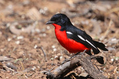 Crimson breasted shrike Stock Photos