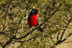 Crimson-breasted Shrike Royalty Free Stock Photography