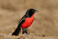 Crimson-breasted shrike Stock Photos