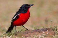 Crimson-breasted Shrike Stock Photos