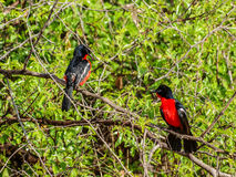 Crimson-breasted Shrike Royalty Free Stock Photos