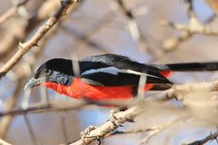 Crimson Breasted Shrike - Colorful Wild Bird Background from Africa - Curious Red Stock Images