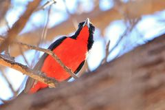 Crimson Breasted Shrike - Colorful Wild Bird Background from Africa - Red Plumage Stock Photography