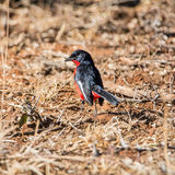 Crimson-breasted Shrike Royalty Free Stock Images