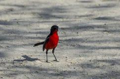 Crimson breasted shrike Stock Photo