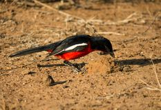 Crimson-breasted shrike foraging for bugs royalty free stock images