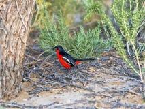 Crimson-breasted Shrike, Laniarius Atrococcineus, Kalahari, South Africa Stock Images