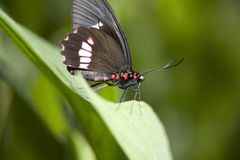Crimson butterfly. On flower, head on view Royalty Free Stock Image