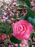 Crimson Camellia flower in the left corner of the image royalty free stock images