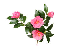 Camelliablommor och lövverk royaltyfri foto