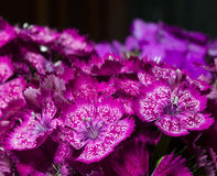 Crimson carnations Royalty Free Stock Images