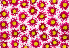 Crimson Chrysanthemums Stock Images
