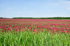 Crimson clover. Royalty Free Stock Photography
