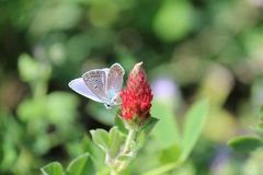 little common blue stock photography