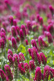 Crimson Clover Crop - Trifolium incarnatum 2. Crimson Clover is a crop used in Alabama to add nutrients to the soil before planting the final crop Royalty Free Stock Photo