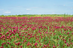Crimson clover field. In summer Royalty Free Stock Images