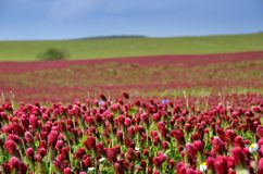 Crimson clover field in summer. Royalty Free Stock Photos