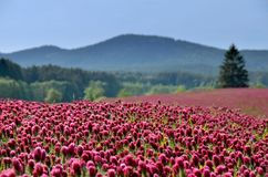 Crimson clover field in summer. Royalty Free Stock Images