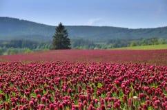 Crimson clover field in summer. Stock Photo