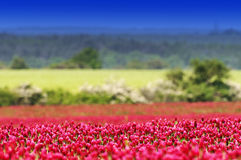 Crimson clover field Royalty Free Stock Photography