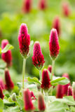 Crimson clover flower Royalty Free Stock Photos