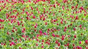 Crimson clover flower Stock Photography