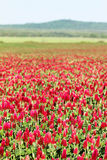 Crimson clover flower field Stock Image